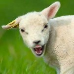 sheep angry