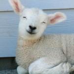 sheep happy